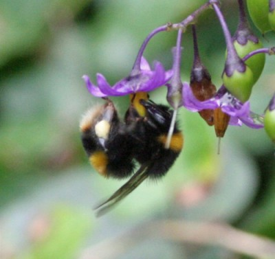 Buzz-pollinating bee